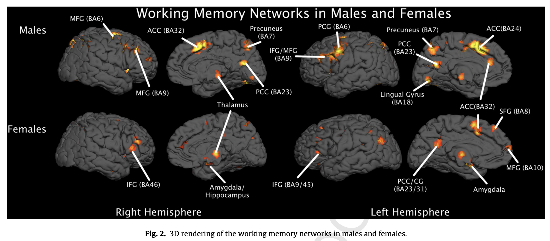 Fig. 2. 3D rendering of the working memory networks in males and females by Ashley C. Hill a, Angela R. Lairdb, Jennifer L. Robinson